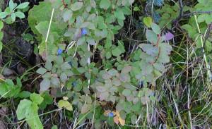 Wild Alaska blueberry bushes